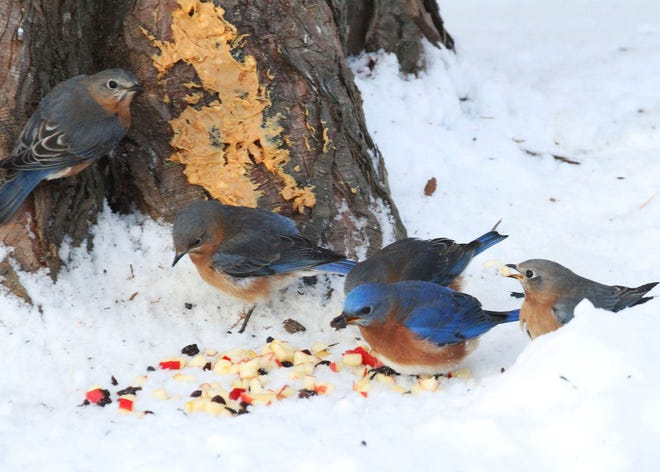 Bluebirs feast on chunky peanut butter smeared at base of tree trunk and pea-sized pieces of chopped apple, rehydrated chopped raisins, and crumbled suet.