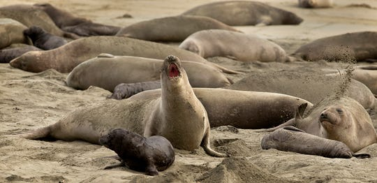 In this photo taken Monday, Jan. 28, 2019, without tourists and park rangers to discourage them during the government shutdown, elephant seals have expanded their pupping grounds in Point Reyes National Seashore, Calif. About 60 adult seals have birthed 35 pups took over a beach knocking down a fence and moving into the parking lot. (John Burgess/The Press Democrat via AP)