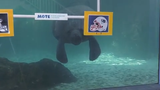 For the 12th year in a row, Mote Marine Laboratory & Aquarium manatees are taking their pick and predicting the winner of the Super Bowl.