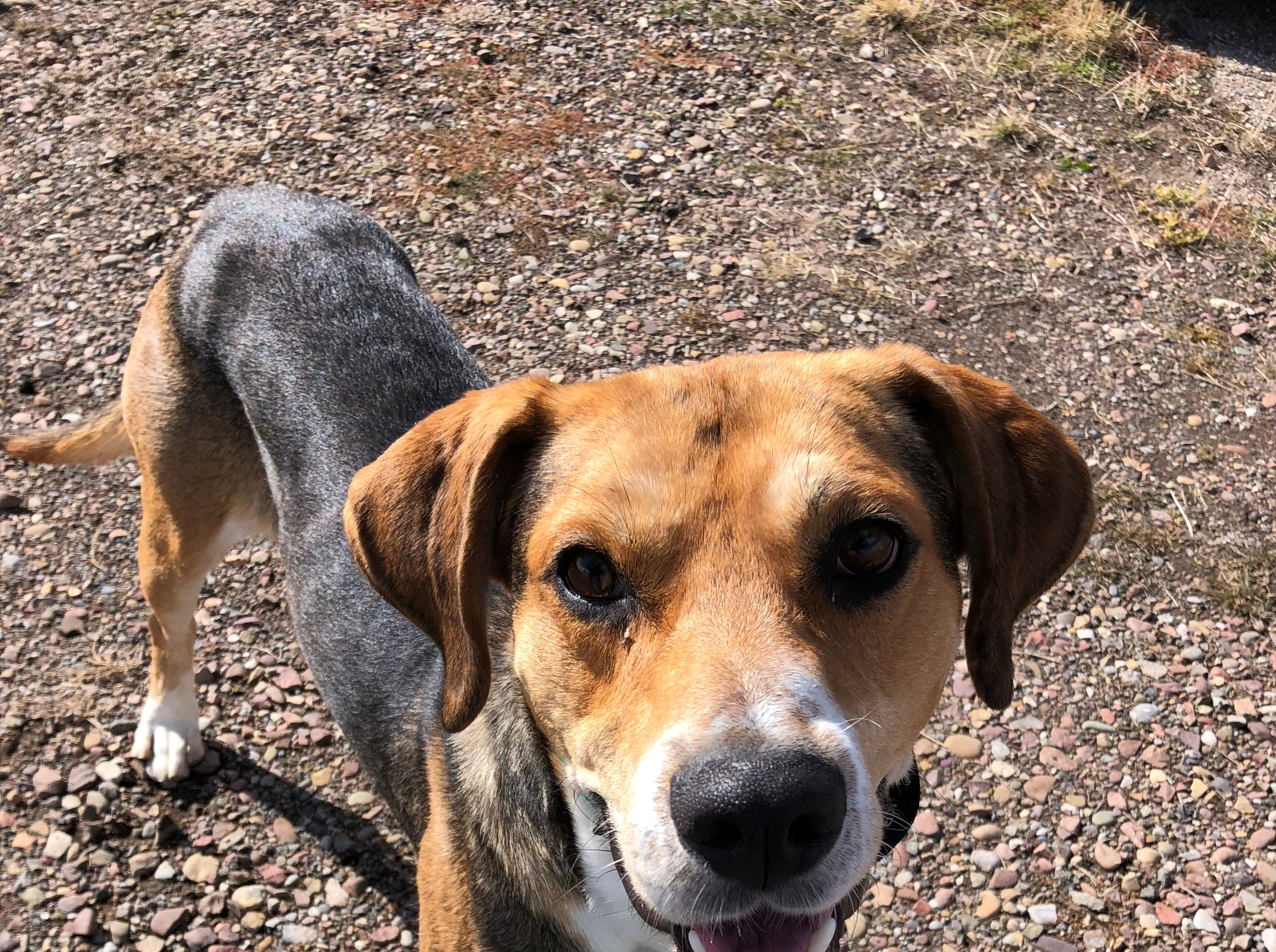 Name: Teddy Intake #: 12790 Neutered Male Hound X Age: AD Tri Color