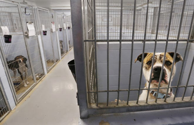 Dogs peer out from their kennels at Almost Home Humane Society in Lafayette.