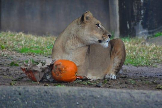 Kariba the lion at the Louisville Zoo.