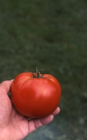Want to grow an extra-early red tomato? Bob Thomson, former host of the Victory Garden program on PBS, gave advice on how to do so.