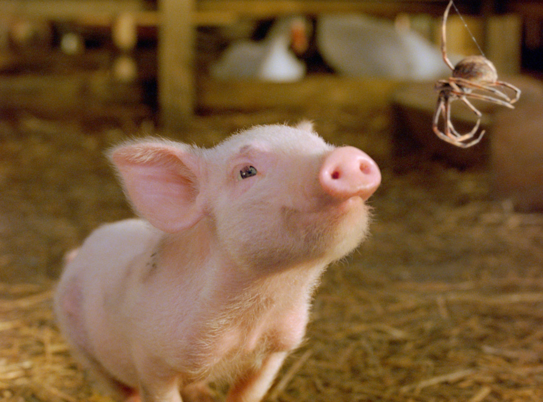 """In this photo provided by Paramount Pictures,   Wilbur develops a  friendship with the most unlikely of creatures--a spider named Charlotte--and their bond inspires the animals around them to come together as a family in """"Charlotte's Web.""""  In real life, Wilbur spent the rest of his days on a farm in Murfreesboro, Tenn."""
