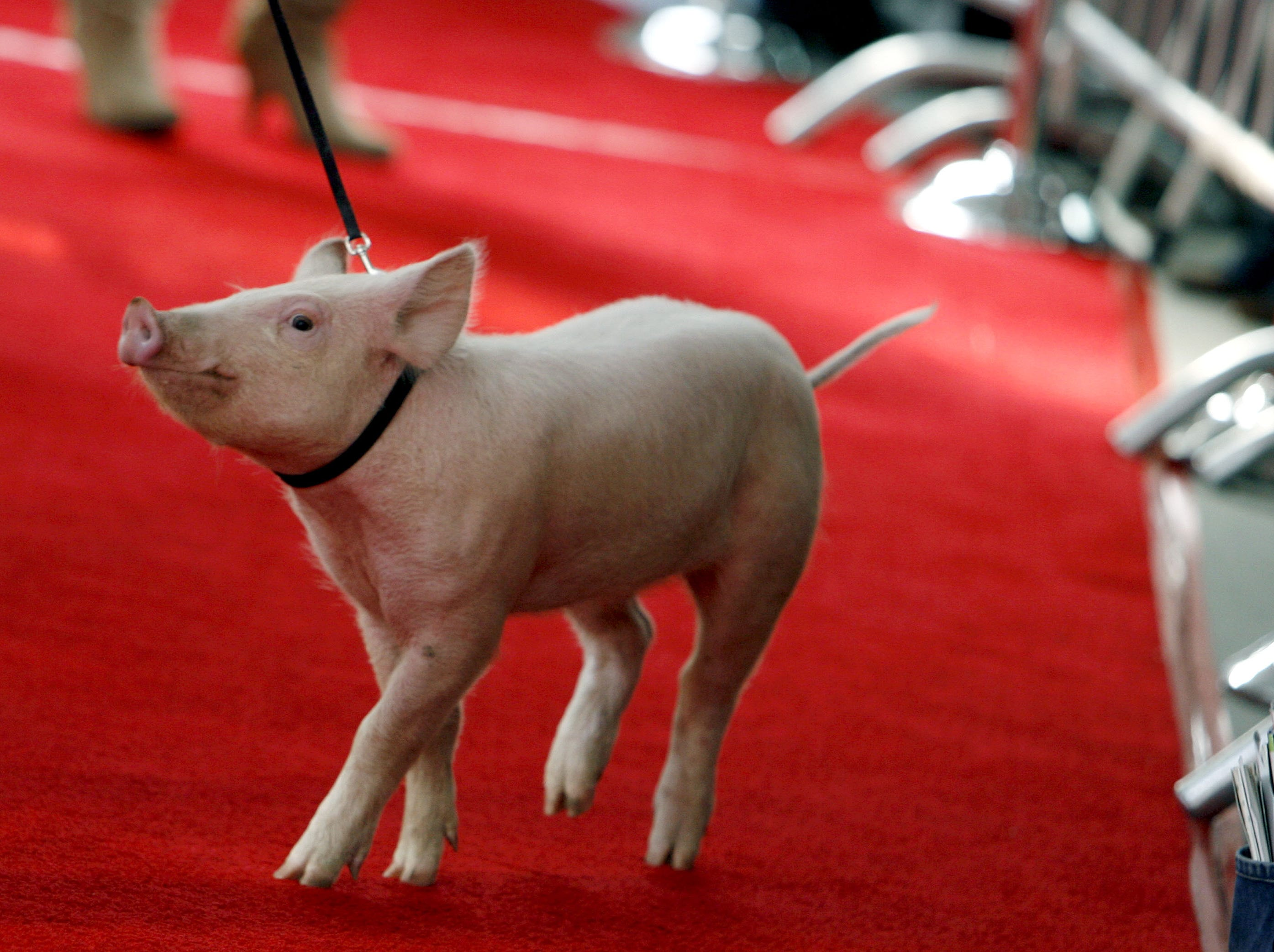 """""""Wilbur"""" the pig walks the red carpet as he arrives at the premiere of """"Charlotte's Web"""" in the Hollywood section of Los Angeles, on Sunday, Dec. 10, 2006. Wilbur spent the rest of his days on a farm in Murfreesboro."""