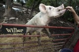 Wilbur the pig lived his life on the Batey Farm in Murfreesboro