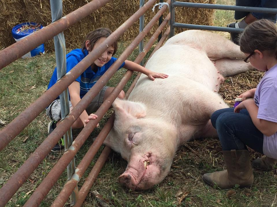 """During fall festivities at Batey Farms, visitors could pamper Wilbur the Pig, who was the star of the re-released edition of the """"Charlotte's Web"""" book."""