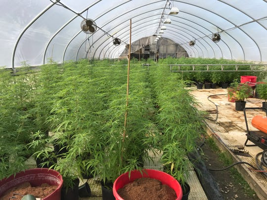 Greenhouse industrial hemp plants