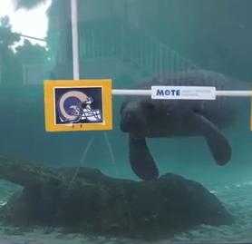 Manatees at Mote Marine Laboratory & Aquarium make their predictions for Super Bowl LIII