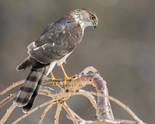 This sharp-shinned hawk picture, which won third place in the 2018 Great Backyard Bird Count photo contest, was taken after the hawk's unsuccessful attempt to grab a sparrow from under feeders in Andover Township.