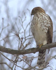 A Cooper's hawk hangs out at a North Jersey feeder.