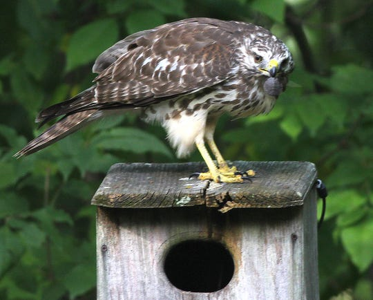 This young red-shouldered hawk was photographed eating a baby snapping turtle next to a Allendale backyard a few years back.