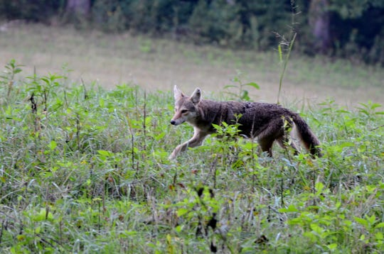 Coyotes are among the problems for Pennsylvania deer
