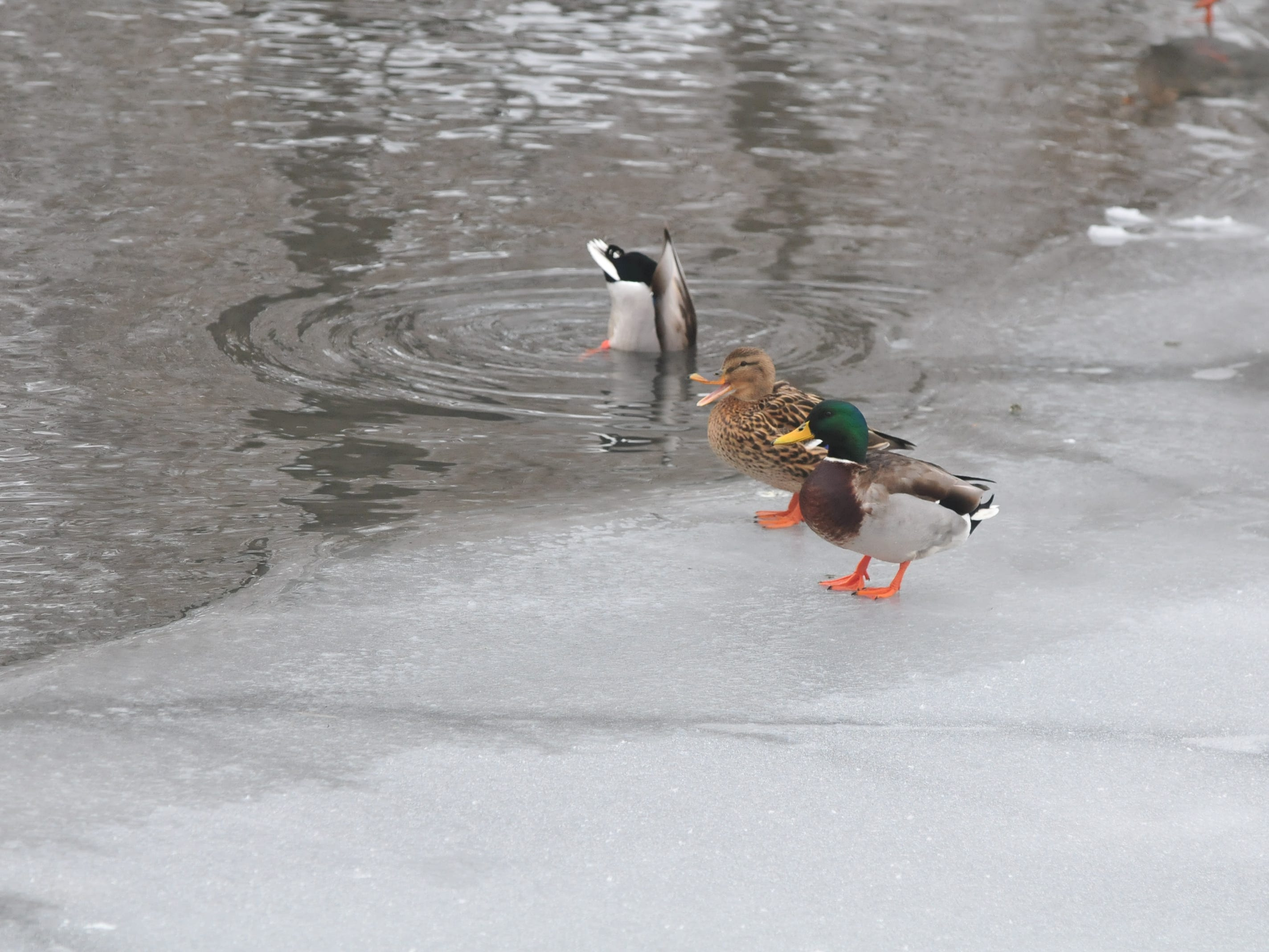 Ducks stand on ice coating the pond in Glen Miller Park.