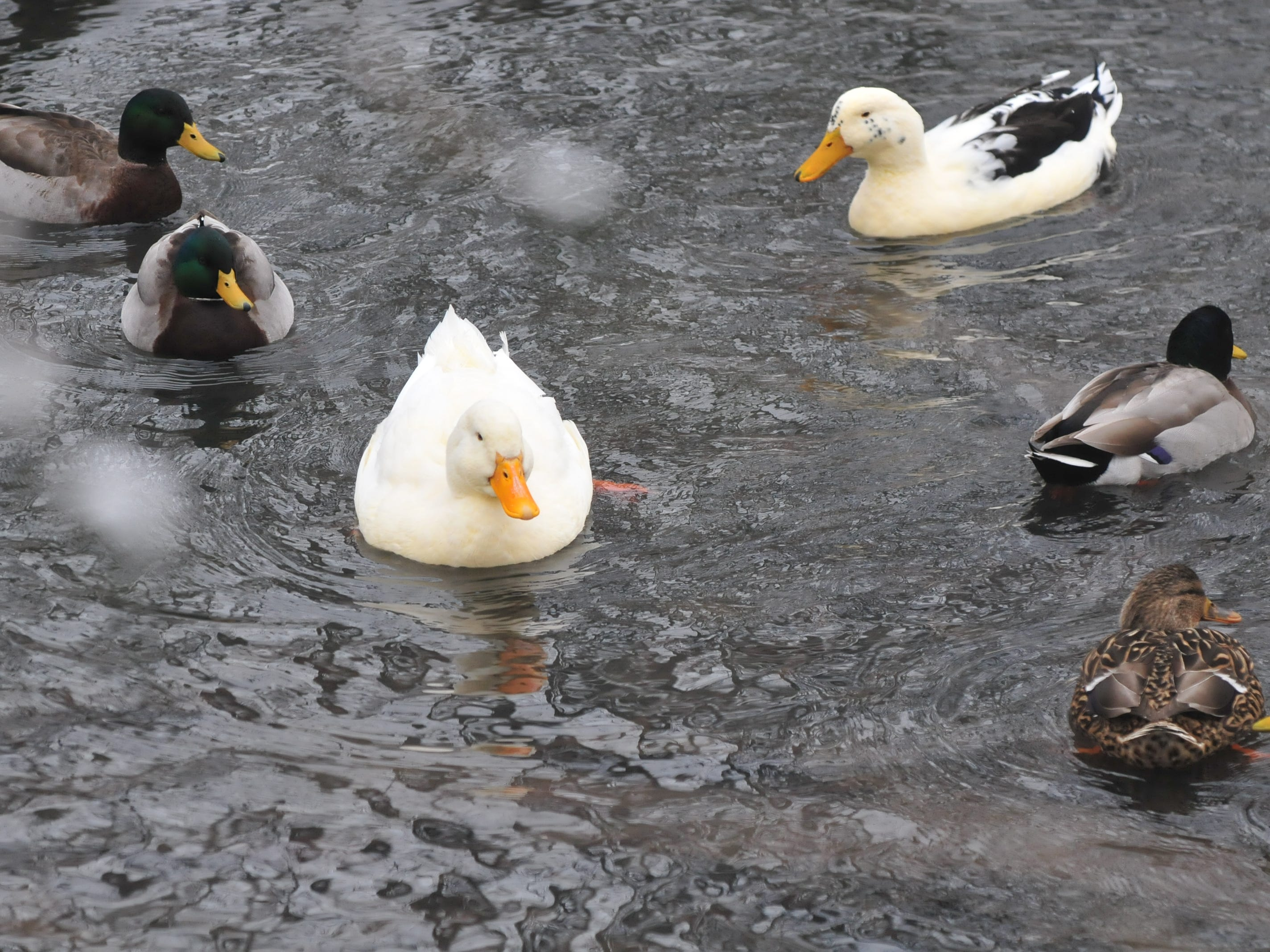 Ducks swim in the small area of the pond at Glen Miller Park that wasn't frozen over Friday.