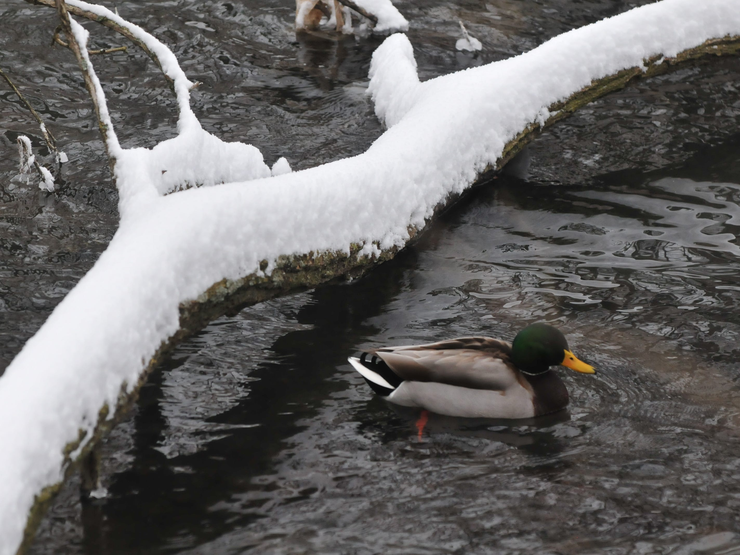 Snow covers a downed limb that stretched into the pond at Glen Miller Park.
