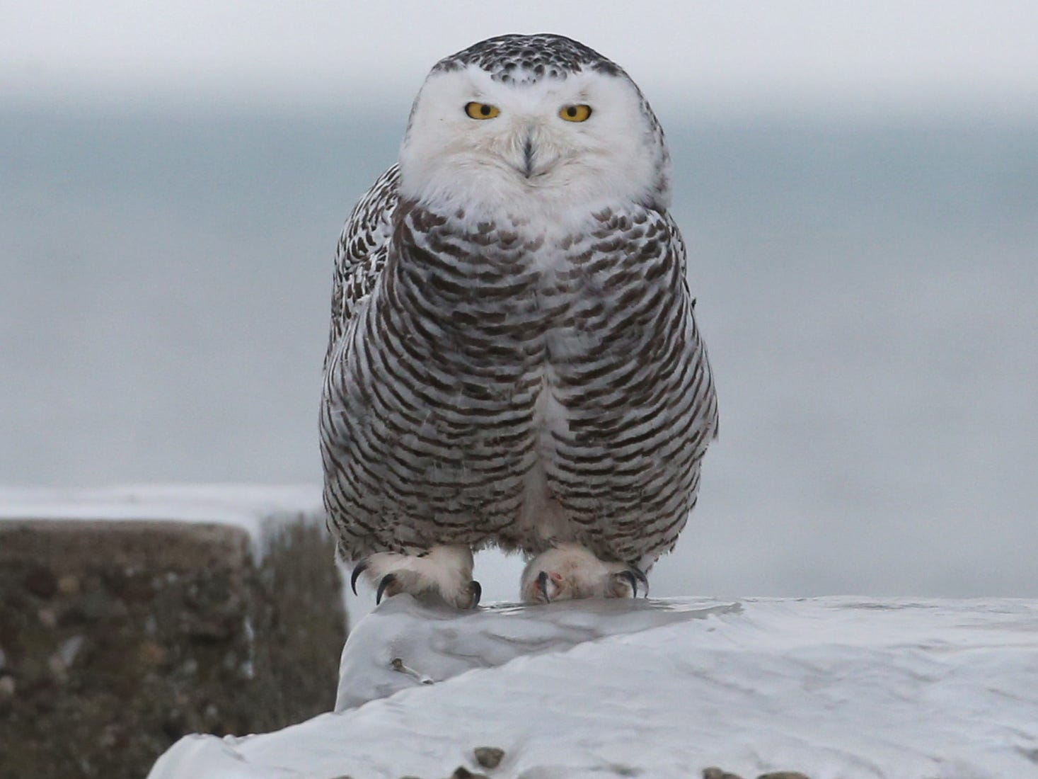 THE PHOTO: A snowy owl looks for more lunch at the end of the frozen Summerville Pier in Irondequoit Tuesday, Jan. 15. FROM SHAWN: I was out looking for photos for our D&C Instagram account and swung by the Summerville Pier. From the shore end of the pier, I could see a small lump out at the other end, so I put on Yaktrax as the pier was covered over in ice and headed out to see if it really was a snowy owl and if I could get a photo. For me, the key to getting this was patience - I walked as slow as I could so as not to scare the owl off, or stress it. I would take five steps, stop, another five, stop, wait a minute, then five more, so on down the pier. About 30 minutes later I was maybe 50 yards away. I slowly kneeled to lessen my size to the owl, and took maybe 10 photos using a 100-400 lens with a 1.4 teleconverter.  I also cropped this image way in to this tight version.  When the owl made a little shoulder twitch, that was my sign to leave. I slowly crouched up, then backed away down the pier. I don't need to make the owl fly off to make a meaningful photo. I don't want to stress it, or force it off a meal or from this spot it clearly chose to hunt from.  Patience and respect to me are pretty important with photographing wildlife.