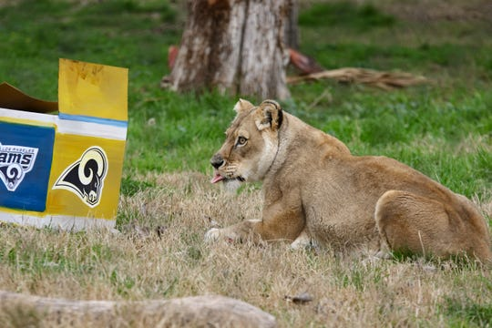 Chaffee Zoo African lioness, Kiki, predicted the LA Rams winner of Super Bowl LIII on Friday.