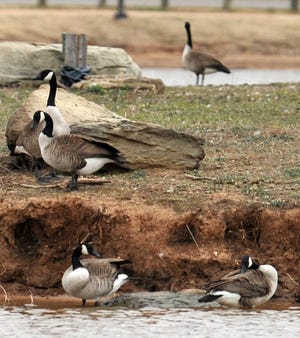 The city of Iowa Park is looking to work with the Texas Parks and Wildlife, and the United States Department of Agriculture to make plans to thin the Canada geese population at Gordon Lake.