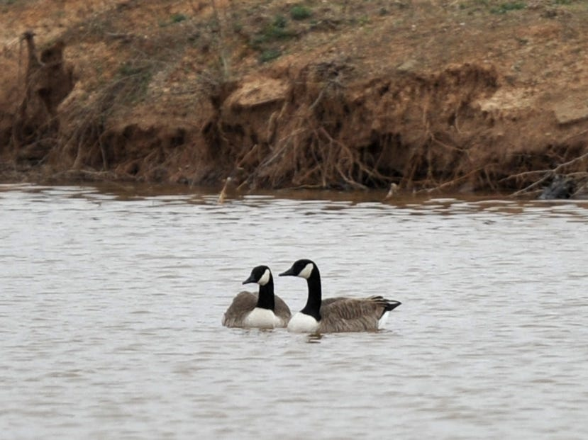The city of Iowa Park is looking to work with the Texas Parks and Wildlife, and the United States Department of Agriculture to make plans to thin the Canada geese population at Gordan Lake.