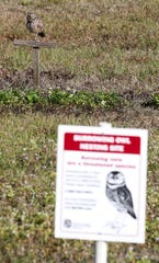 The newly-named Owliver stands watch from a perch right outside his den. The burrowing owl was photographed during Cape Coral's inaugural Ground-Owl Day ceremony on Feb. 2.