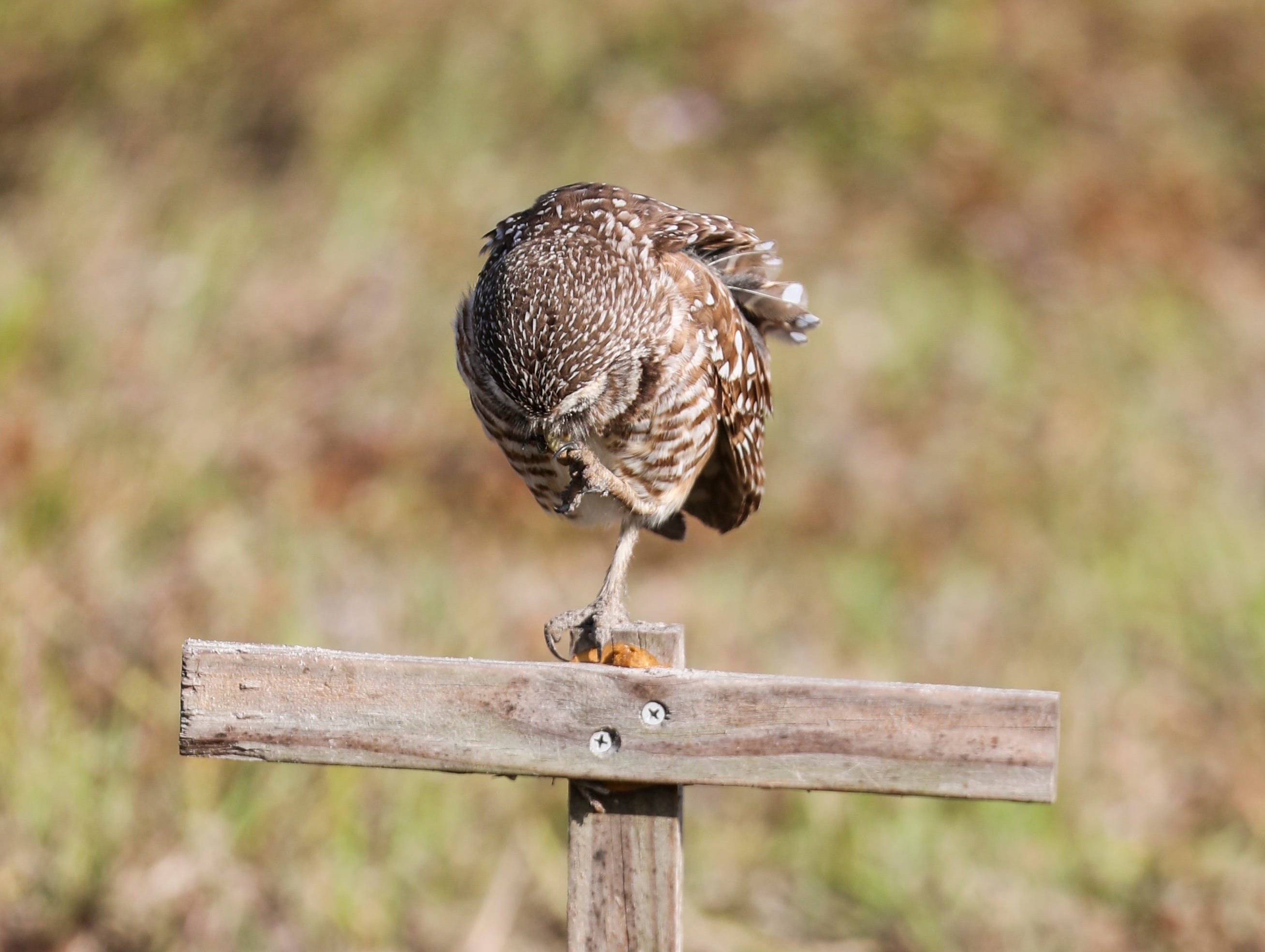 Newly named Owliver, stands watch from the perch right outside his den.  Cape Coral's inaugural ÒGround-Owl DayÓ ceremony was Saturday, February 2, 2019. The winning names for the pair of burrowing owls that live next to the City Hall are Owliver and Owlivia.