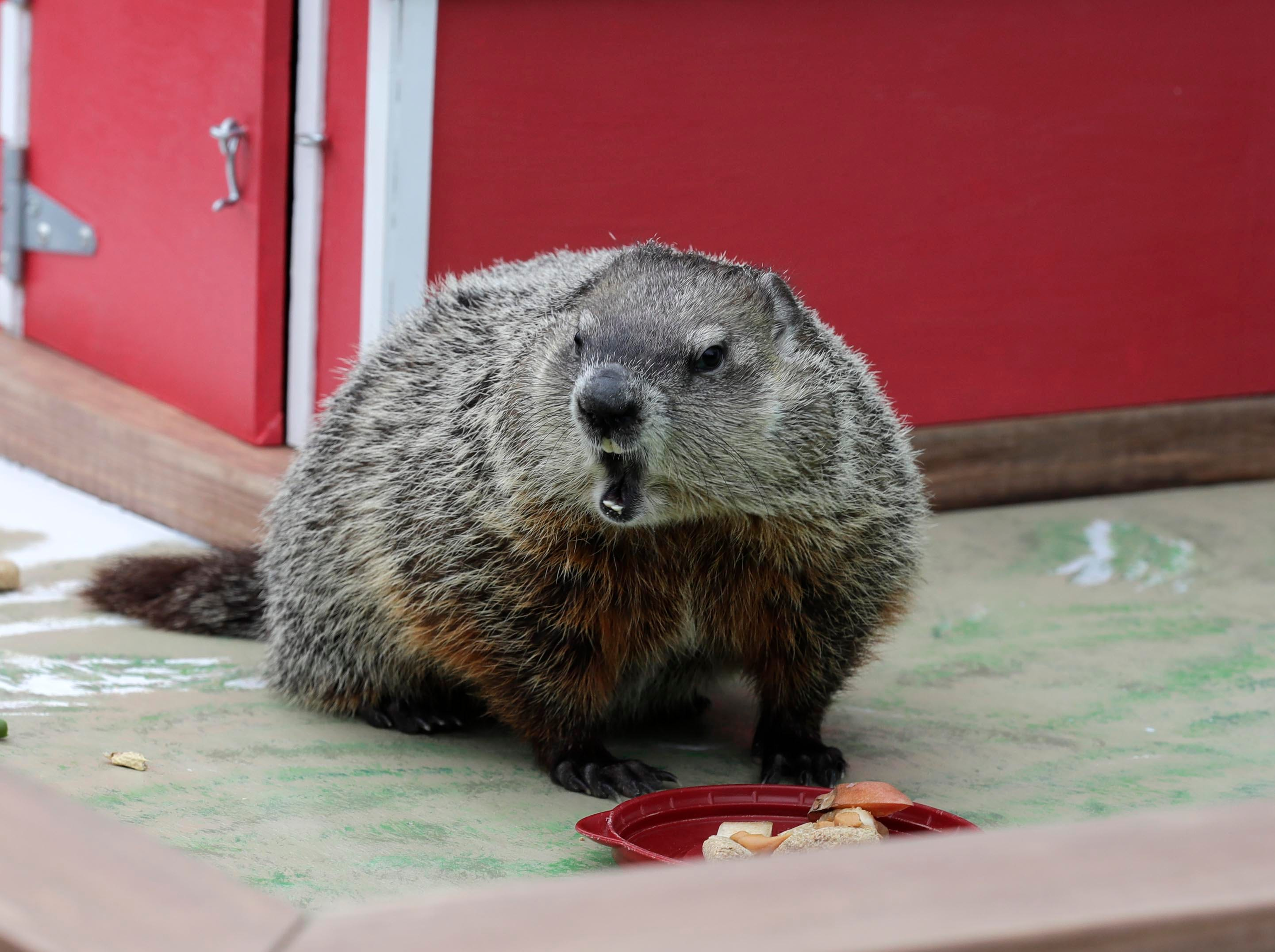 A little food helps persuade Gordy to come out from his winter hibernation.