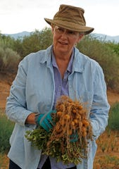 Stephanie Walker, New Mexico State University Extension vegetable specialist and researcher, displays a papa criolla-type potato plant during harvest of a trial plot in Los Lunas on June 30, 2016. NMSU and the University of Florida are collaborating with U.S. Department of Agriculture breeding project that is developing the nutritious South American potato to be raised in the United States.