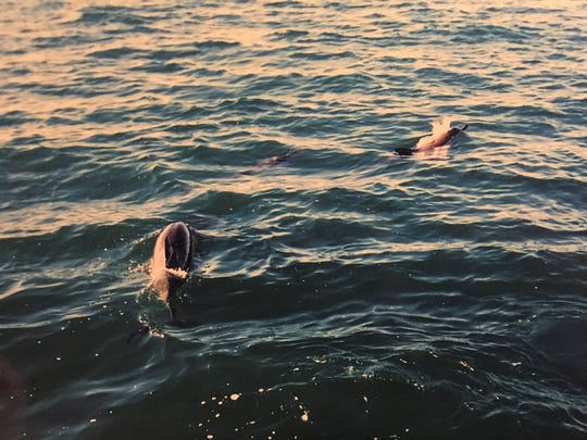 Wearing masks and snorkels and clutching a bar towed behind the boat, we were slowly dragged like chum.  Wild common and bottlenose dolphins darted, dived and swam around us.