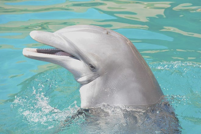 Kai, the most recent dolphin to die at Dolphinaris Arizona.