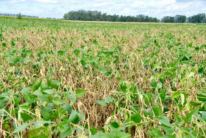 White mold killed all the yellowed plants in this Wisconsin soybean field. Every 10 percent increase in white mold incidence cuts yield by two to five bushels per acre. (Average state soybean yield in 2018 was 49 bushels per acre.)