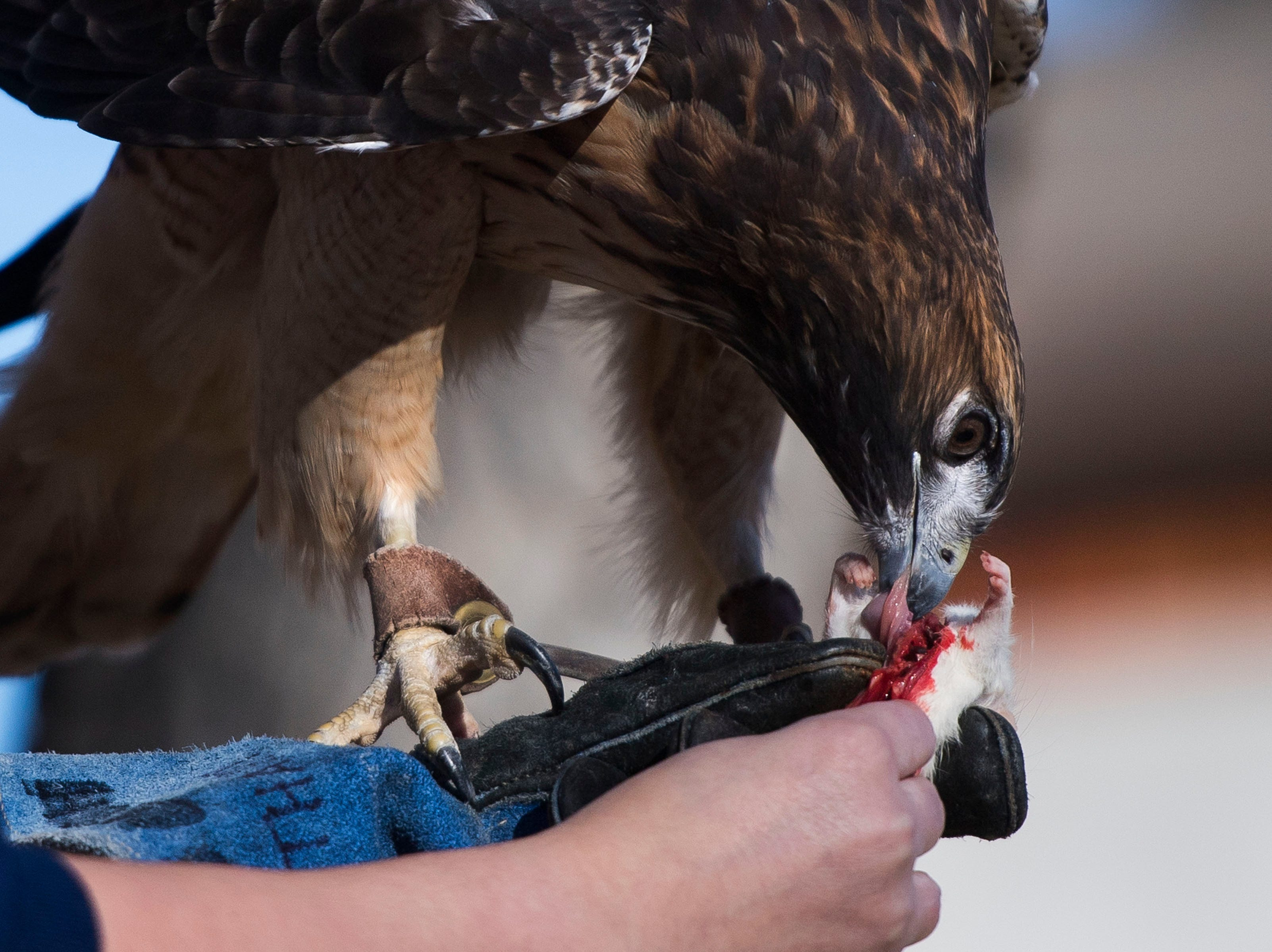 Handler Dominique Thigpen feeds an educational red-tailed hawk on Friday, Feb. 1, 2019, at the Rocky Mountain Raptor Program in Fort Collins, Colo.