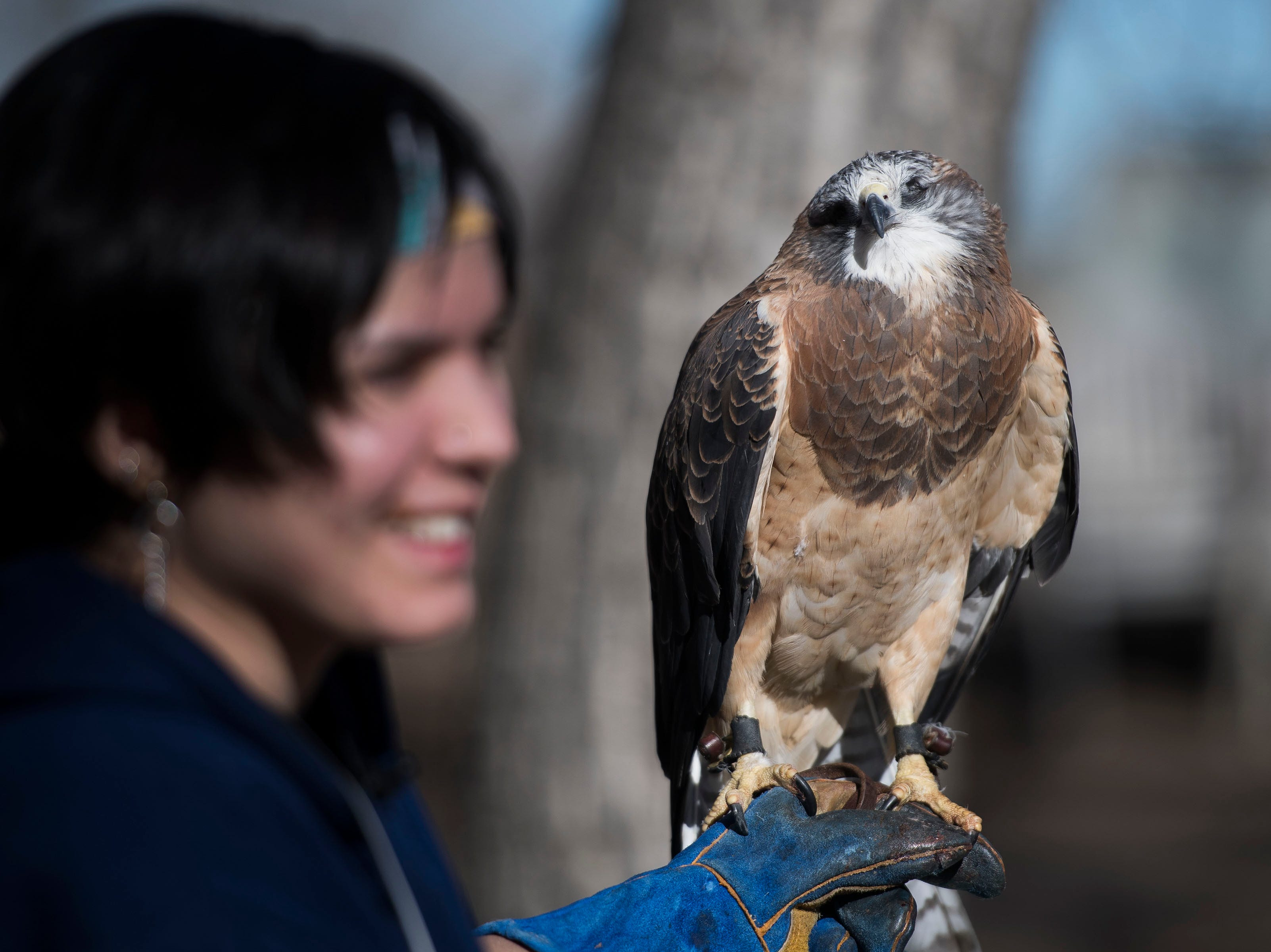 Handler Dominique Thigpen holds an educational swainson's hawk while trying to see if it's ready to eat on Friday, Feb. 1, 2019, at the Rocky Mountain Raptor Program in Fort Collins, Colo.