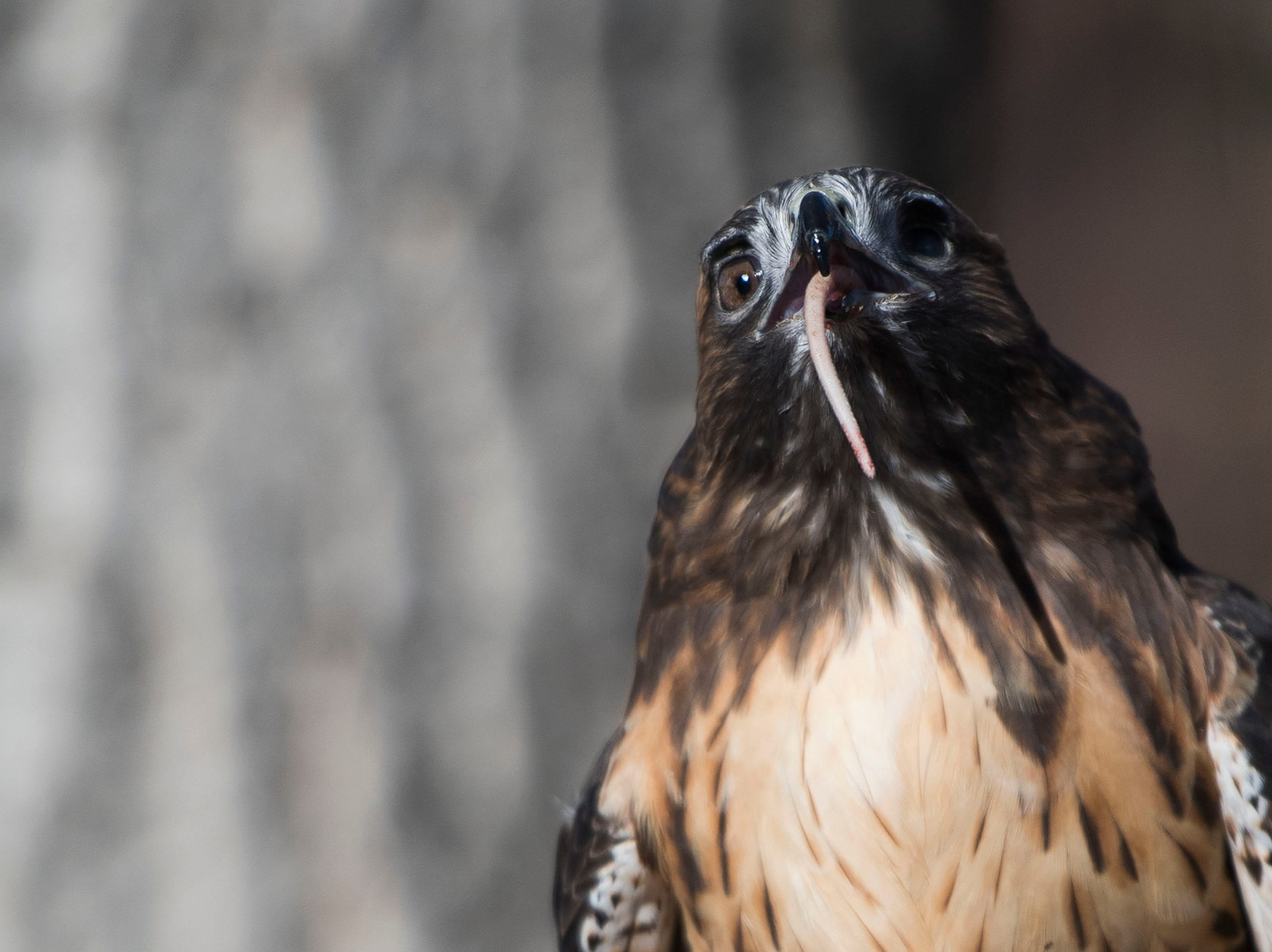 An educational red-tailed hawk consumes the tail of a rat while out of its cage on Friday, Feb. 1, 2019, at the Rocky Mountain Raptor Program in Fort Collins, Colo.