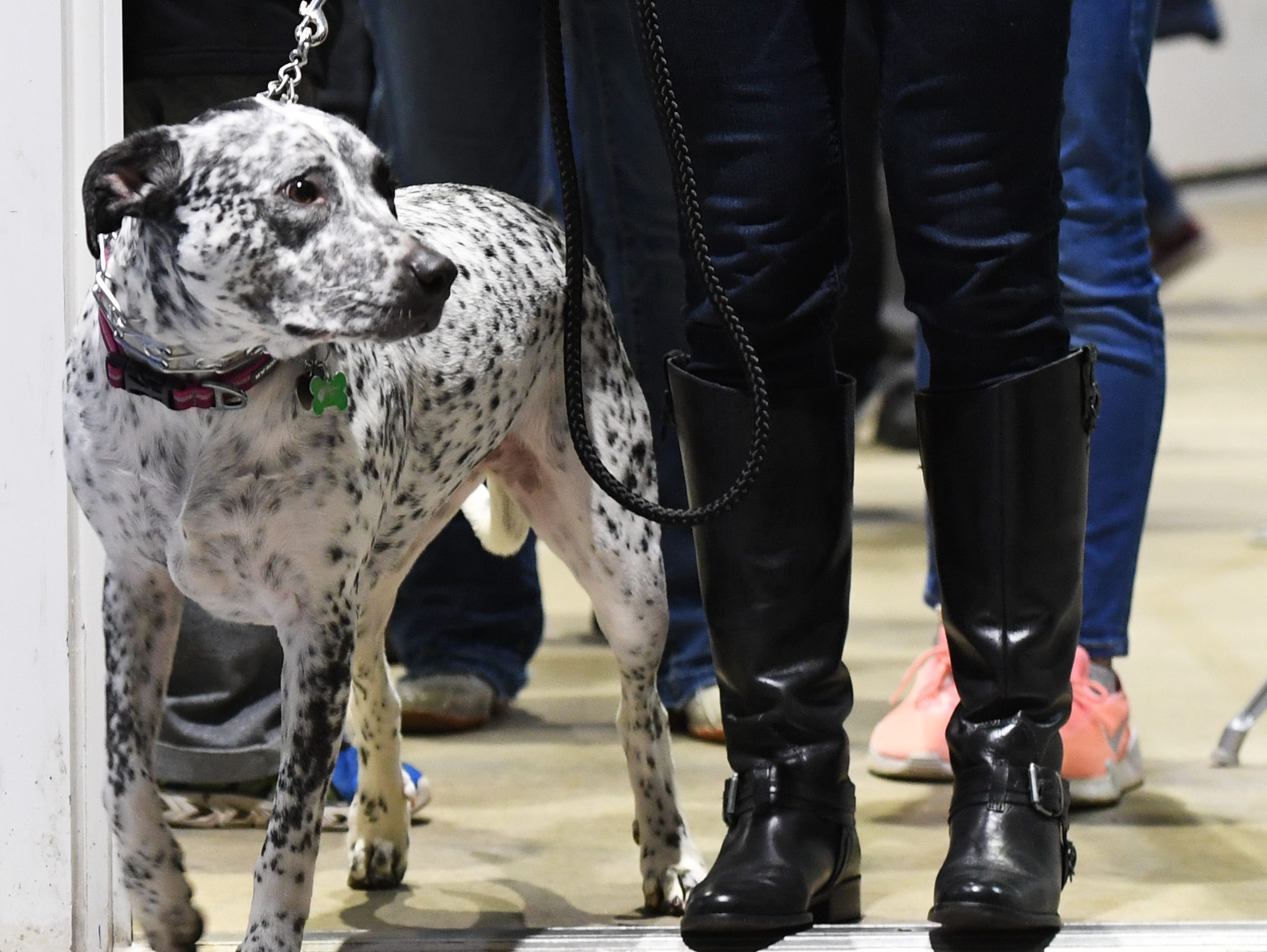 Madison McCartney walks her dog, Cali, into Bon Secours Wellness Arena for Pucks N' Paws night during the Greenville Swamp Rabbits game against the Florida Everblades Saturday, Feb. 2, 2019.