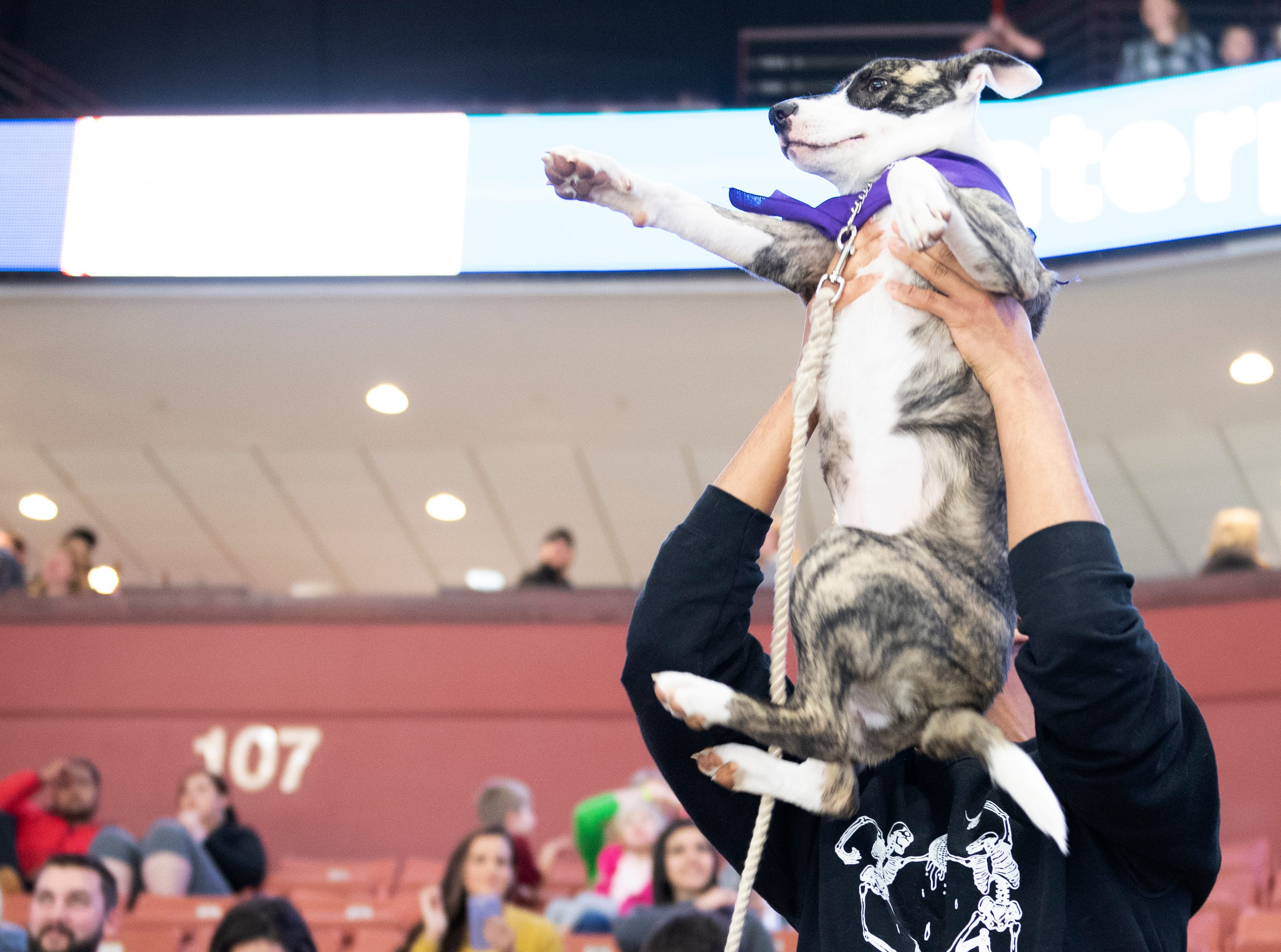 Garrison Thompson holds up Kaya during the Greenville Swamp Rabbits game against the Florida Everblades Saturday, Feb. 2, 2019. Saturday was Pucks N' Paws night at Bon Secours Wellness Arena.