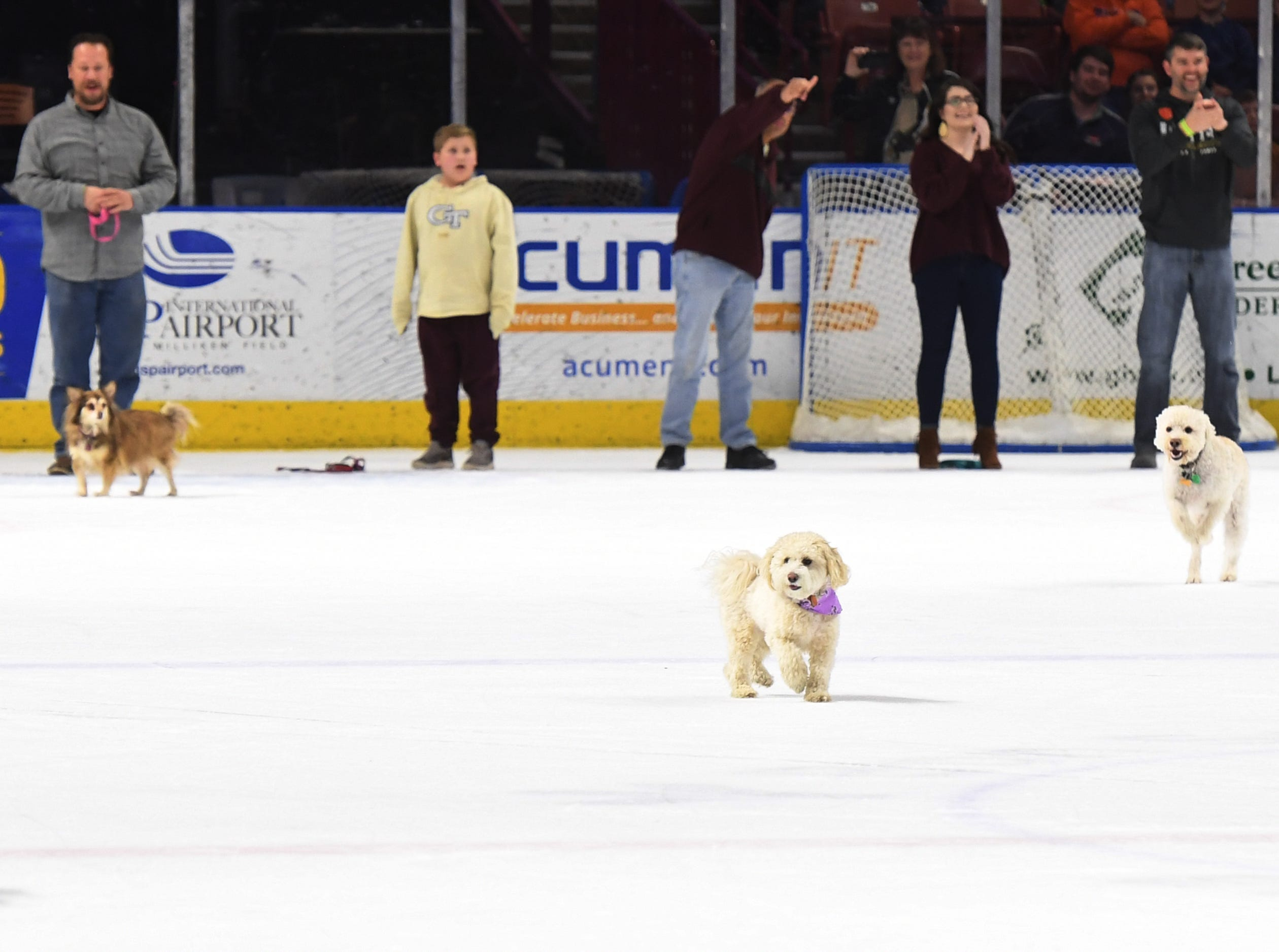 Dogs race on the ice at intermission of the Greenville Swamp Rabbits game against the Florida Everblades Saturday, Feb. 2, 2019. Saturday was Pucks N' Paws night at Bon Secours Wellness Arena.