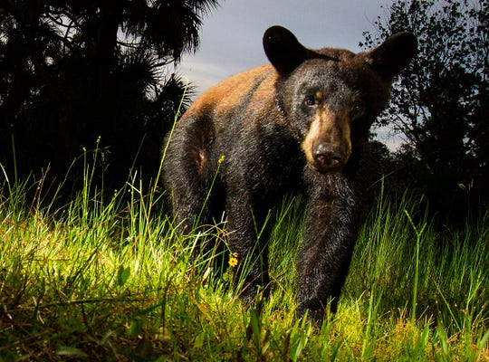 News-Press photographer Andrew West has set up a camera trap at several locations throughout the Corkscrew Regional Ecosystem Watershed over the last seven months. One of his best image is of a black bear captured on July 18, 2018.