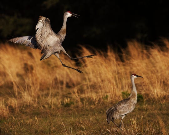 Sandhill cranes exhibit mating behaviour at Corkscrew Regional Ecosystem Watershed. Photographed while checking camera trap.