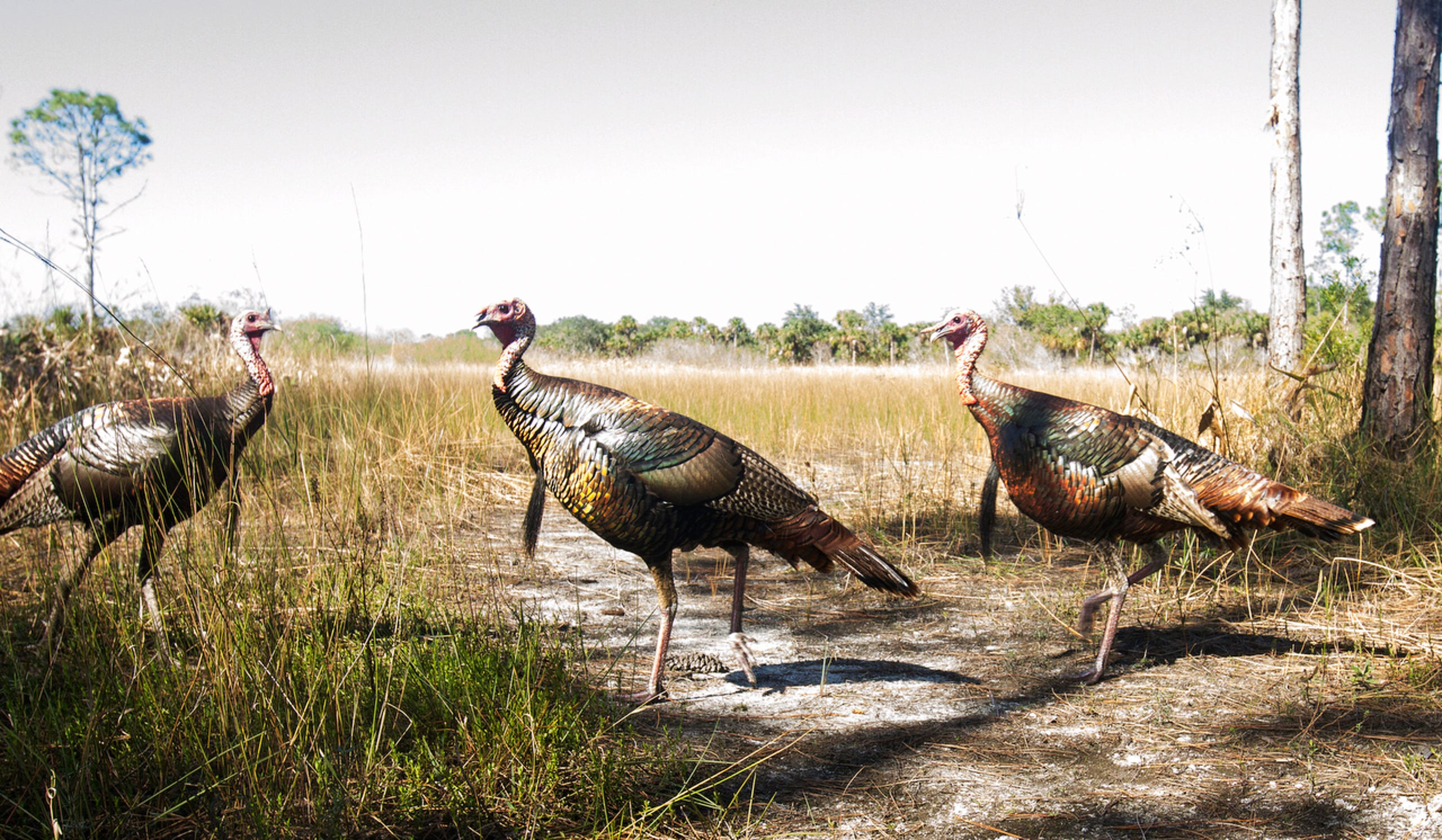 Wild turkey trip a camera trap. For over a year News-Press photographer Andrew West has kept a camera trap set up in the Corkscrew
