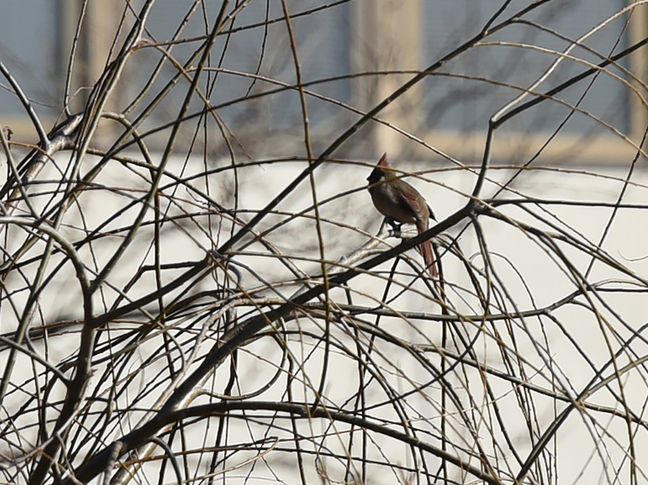 A male cardinal was spotted by birders during The Bergen County Audubon Society wintering birds and nature walk at Dekorte Park in Lyndhurst on Sunday, February 3, 2019. Prizes were awarded to the first people to spot birds that are also NFL team names.