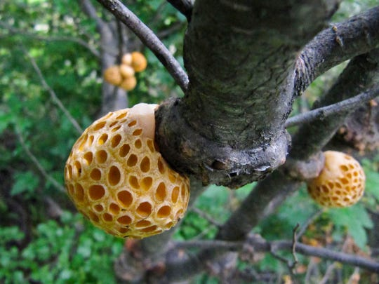 Orange-colored galls, such as these pictured in 2010, from the beech tree forests of Patagonia have been found to harbor the yeast that makes lager beer possible. Five hundred years ago, in the age of sail and when the trans-Atlantic trade was just beginning, the yeast somehow made its way from Patagonia to the caves and monastery cellars of Bavaria where the first lager beers were fermented. University of Wisconsin-Madison Genetics Professor Chris Todd Hittinger and colleagues from Portugal, Argentina and the University of Colorado describe the lager yeast, whose origin was previously unknown.