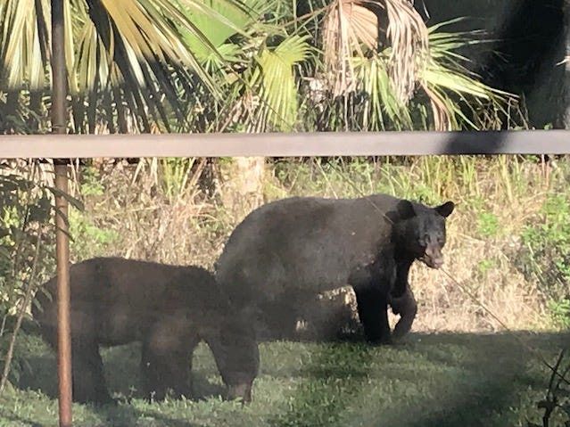 Bears visit this Golden Gate Estates home on Feb. 3, 2019. For nine years, the homeowner has seen bears passing through.