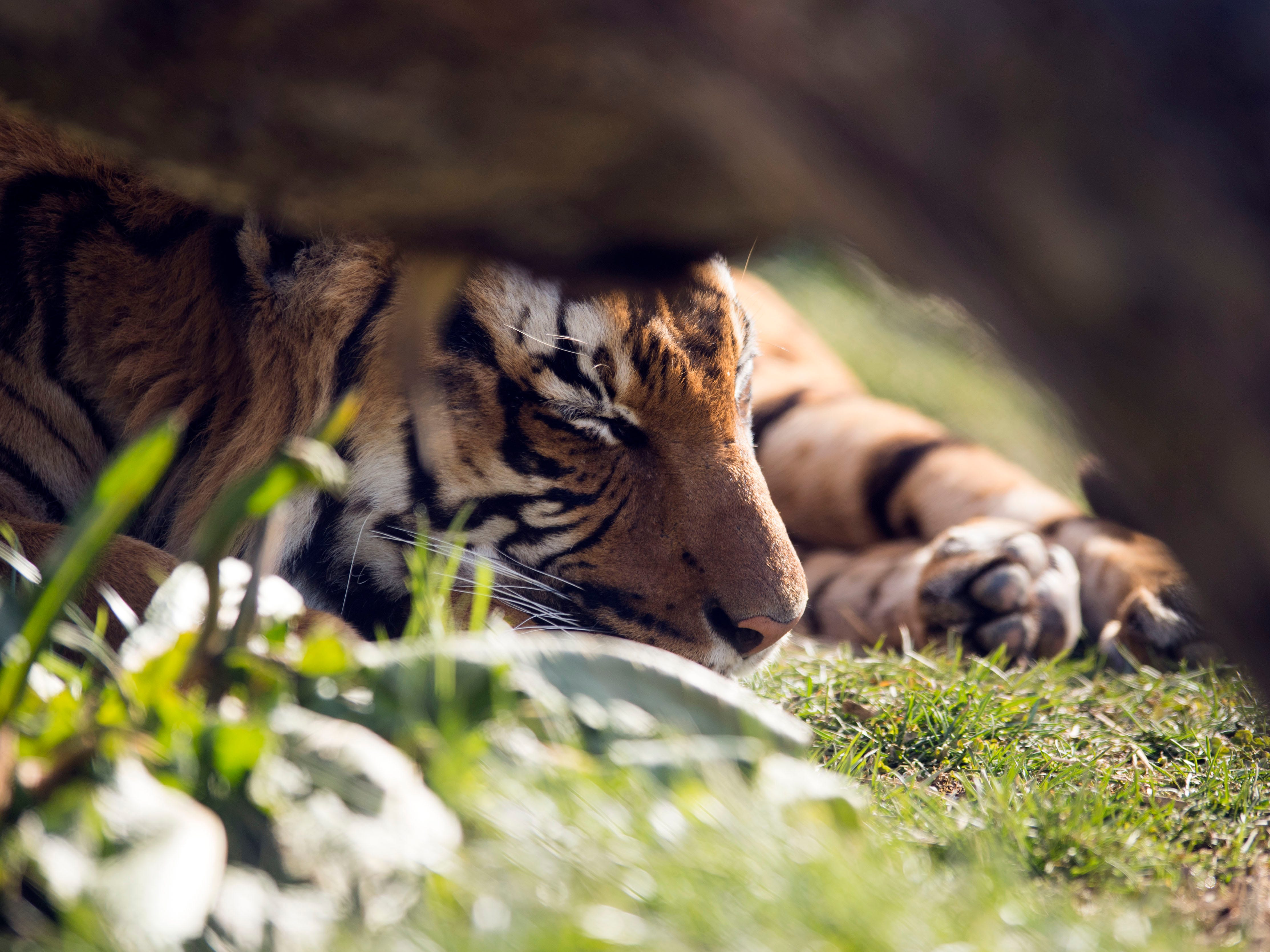 Bashir, a Malayan Tiger, rests in the sun at Zoo Knoxville's Tiger Forest habitat on Sunday, February 3, 2019.