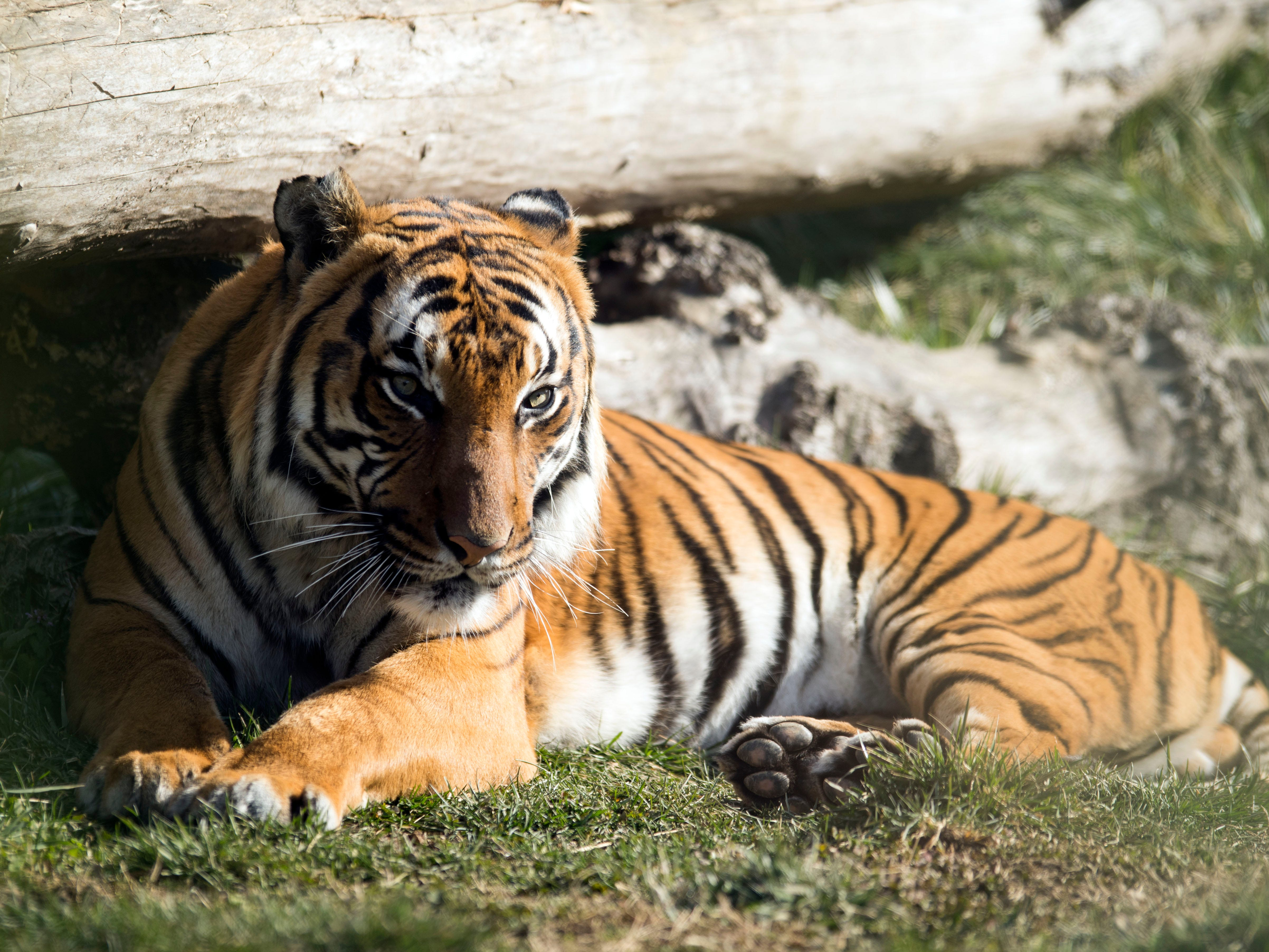Bashir, a Malayan Tiger, sits in the sun at Zoo Knoxville's Tiger Forest habitat on Sunday, February 3, 2019.