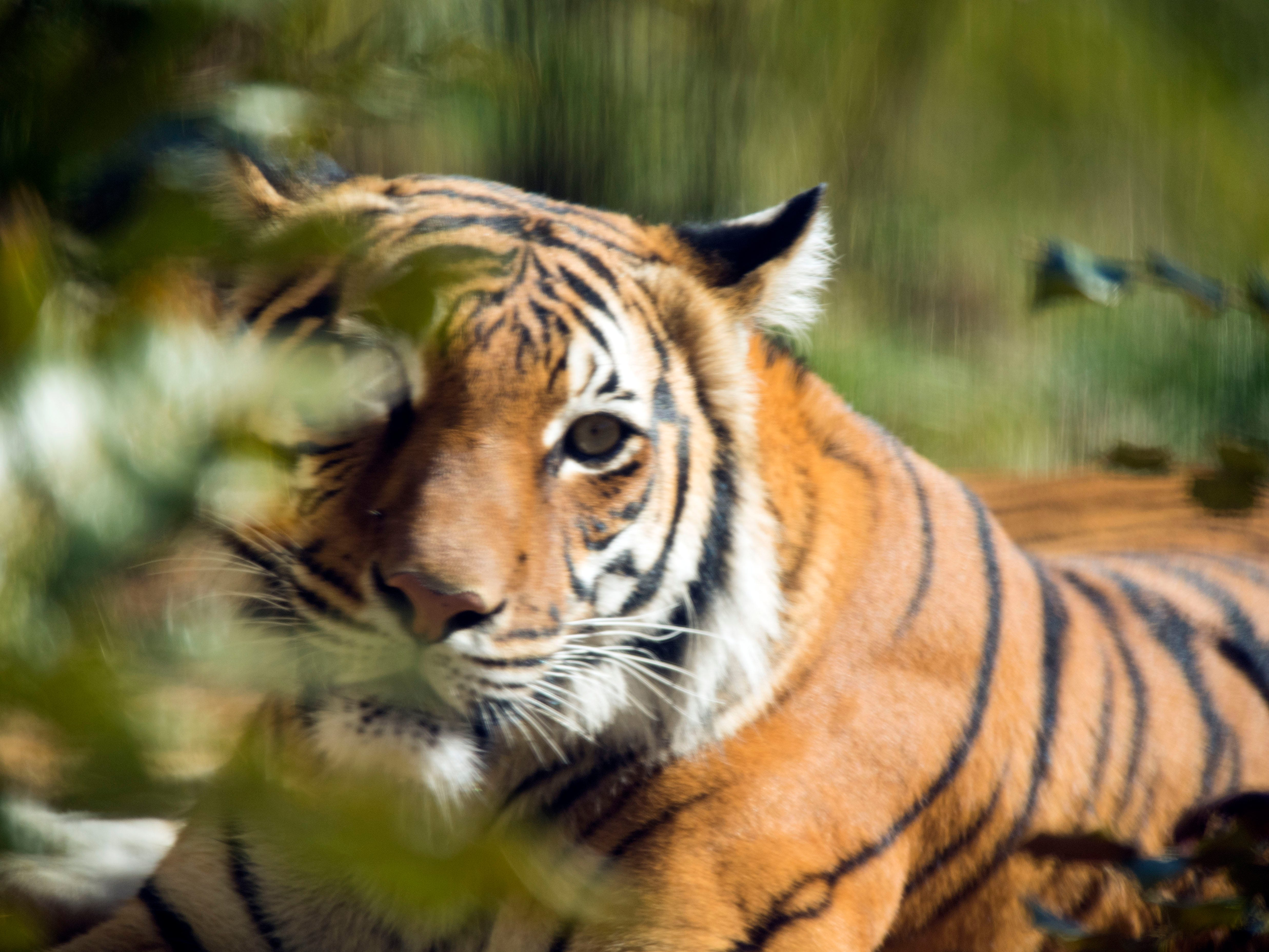 Arya, a Malayan Tiger, hides in the shrubbery at Zoo Knoxville's Tiger Forest habitat on Sunday, February 3, 2019.