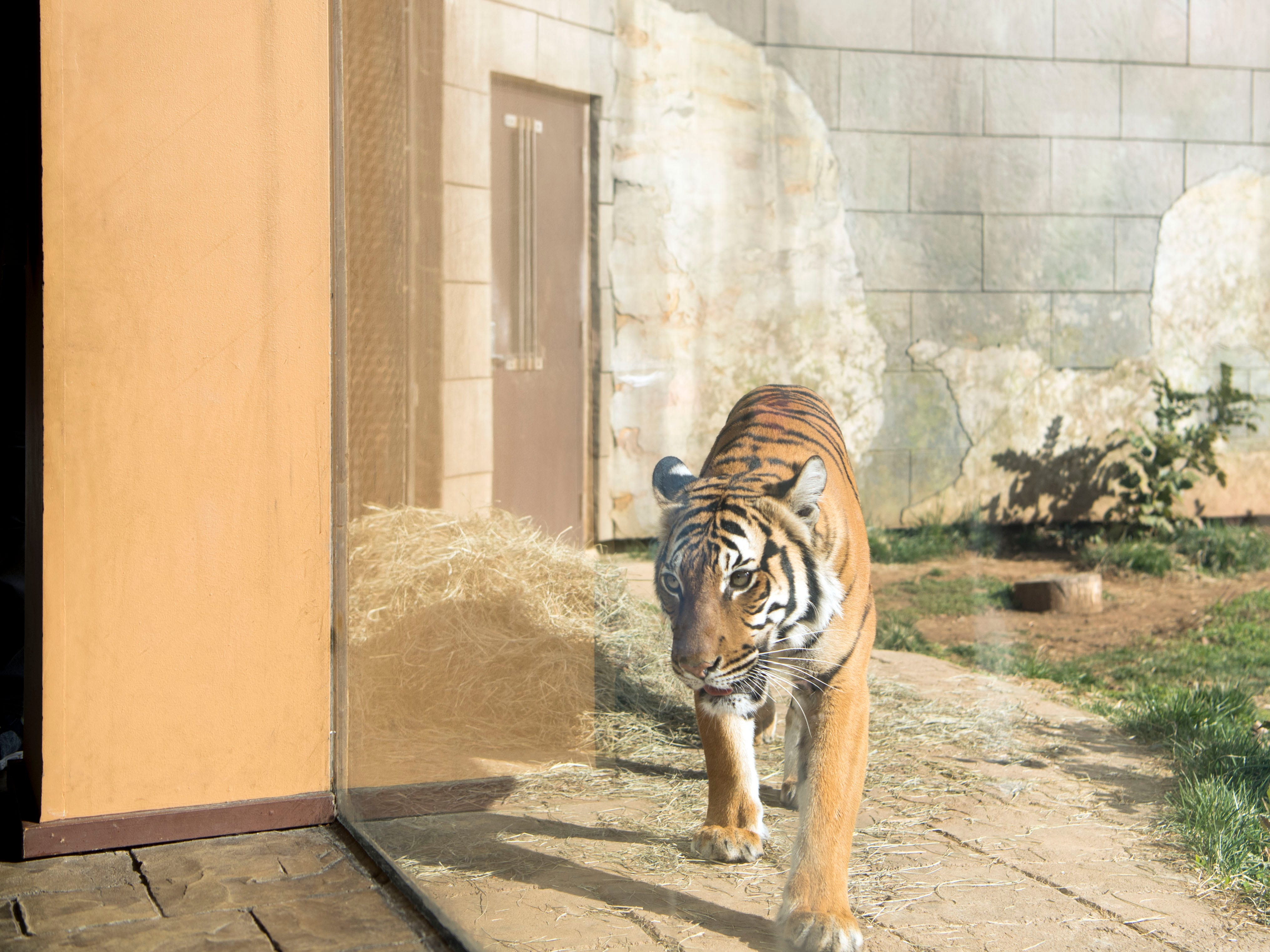 Arya, a Malayan tiger, paces near the viewing window at Zoo Knoxville's Tiger Forest habitat on Feb. 3, 2019.