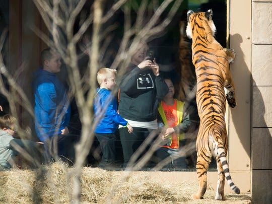 Arya, a Malayan tiger, looks into the viewing area of Zoo Knoxville's Tiger Forest habitat on Feb. 3, 2019.