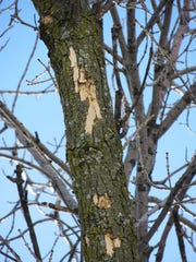 Light flecking on the top of an ash tree can be a sign of emerald ash borer infections.
