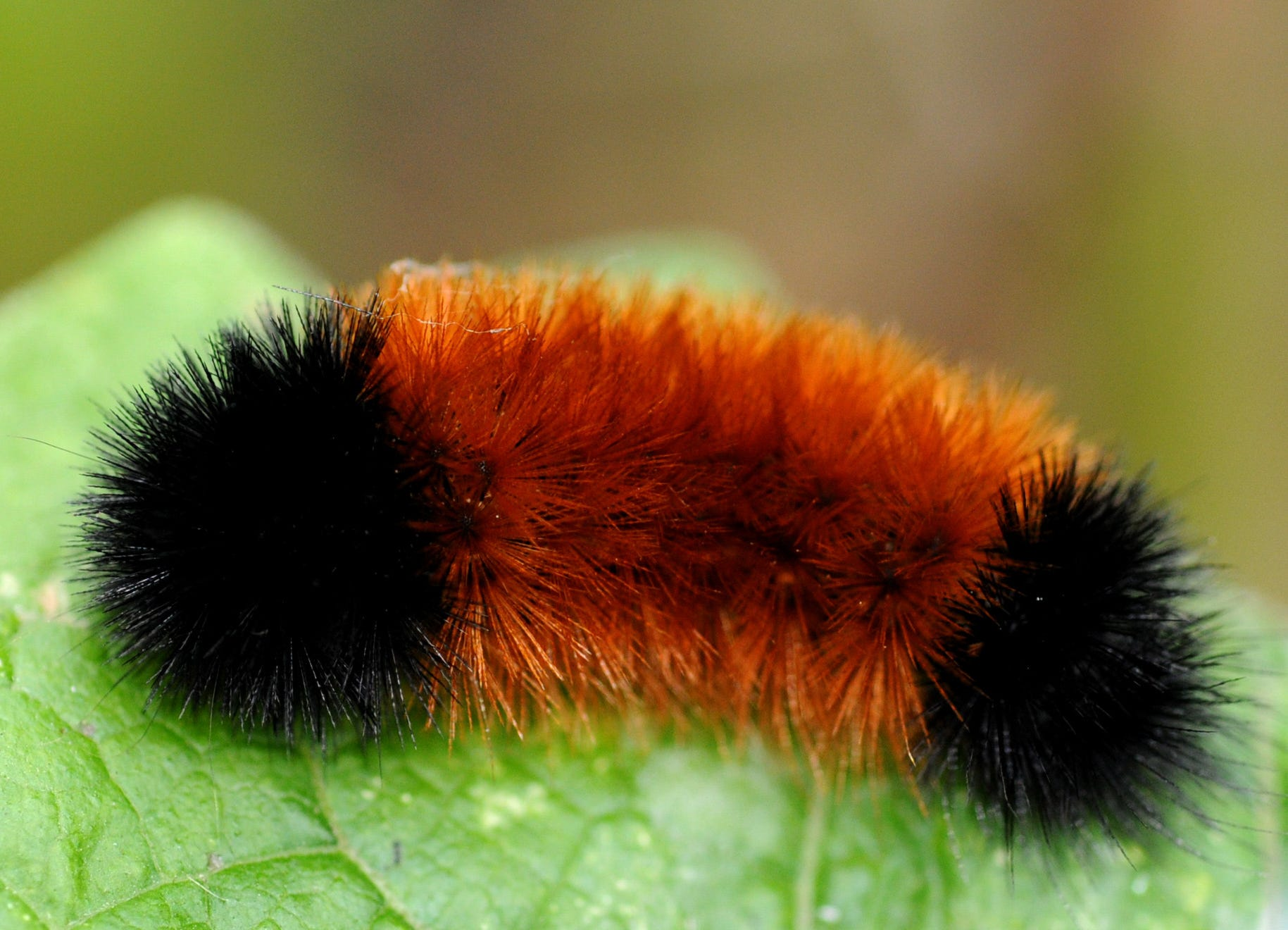 The River Revitalization Foundation's Woolly Bear Festival puts woolly bear caterpillars and their weather-predicting ways on center stage.